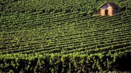китай виноградники