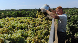 "Сбор винограда на плантации ""Фанагория"""